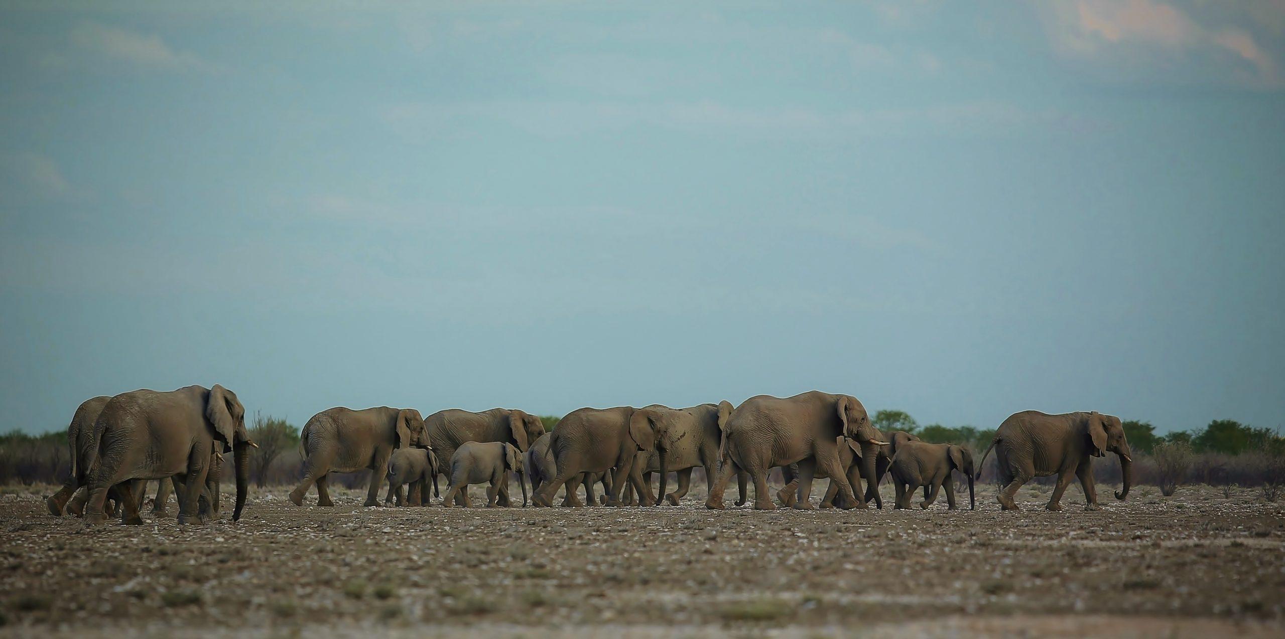 La Patrouille des Elphants, Namibie Etosha