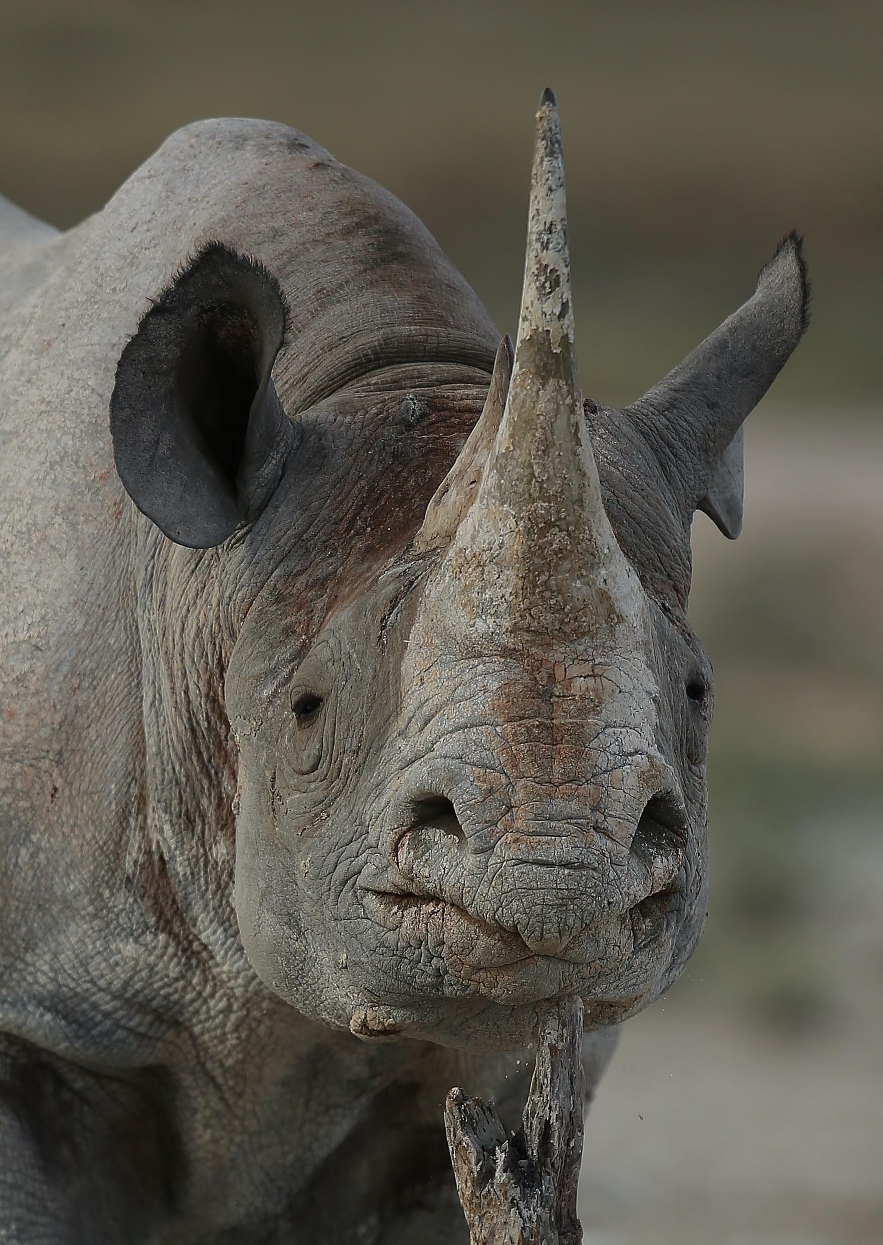Rhino on the woods, Namibie Etosha