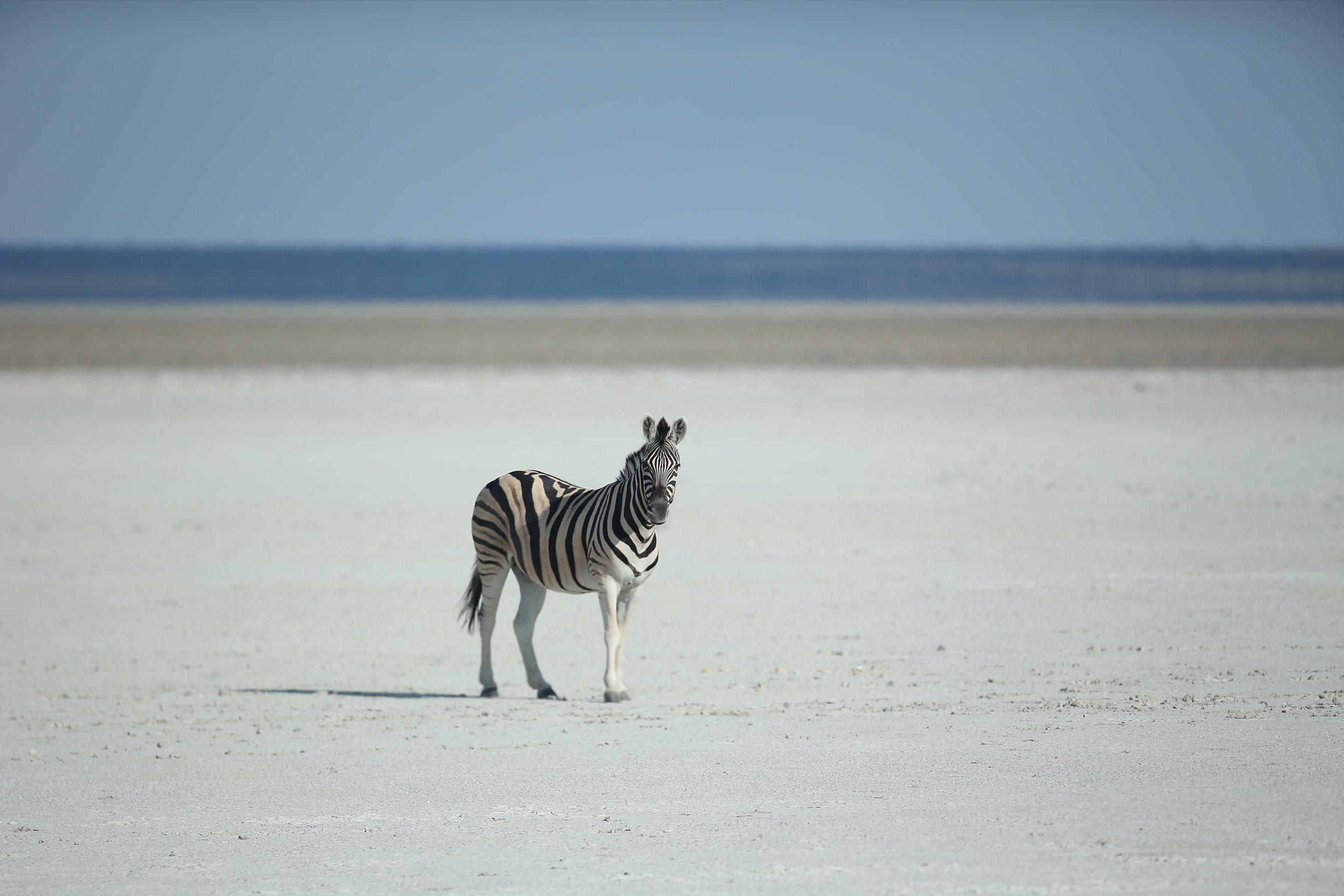 ZEBRA ON THE BEACH