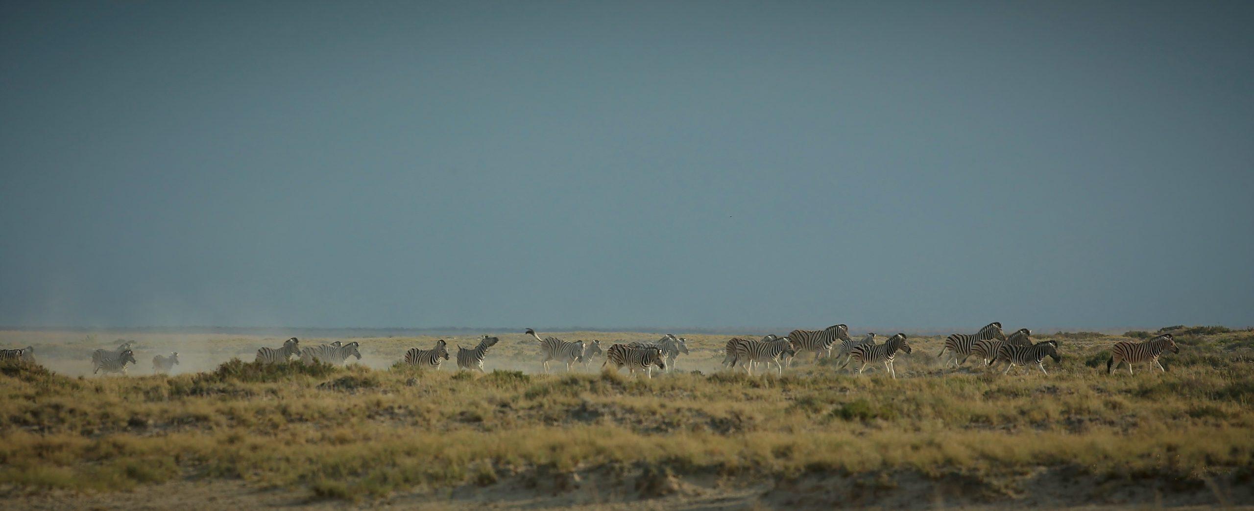 Zbres d'Etosha, Namibie